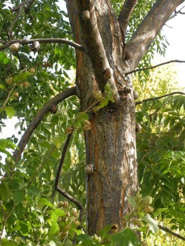 2012-10-07 Salagon escargots arbre DSCN5938_965 (Small).JPG